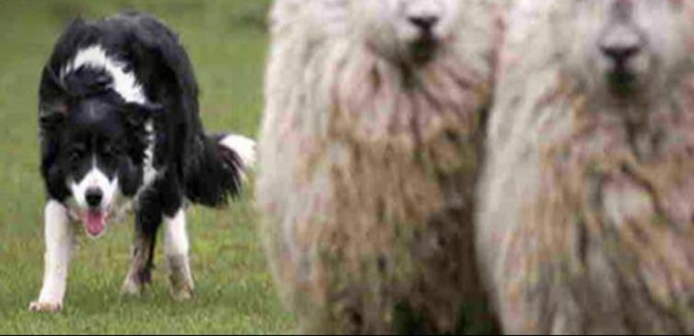 The Sheepdog Experience - New Lower Price