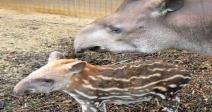 Tickle a Tapir