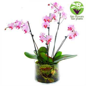 Orchid Extravagance