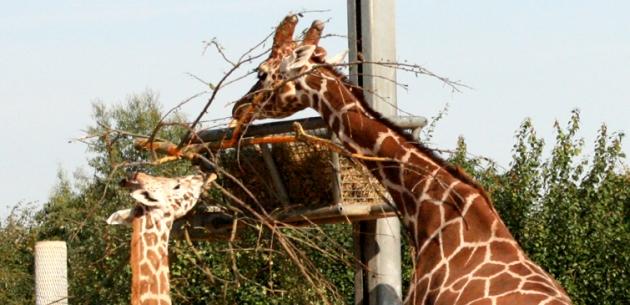 Giraffe Feeding Experience