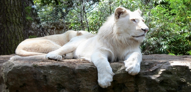 Feed the White Lions